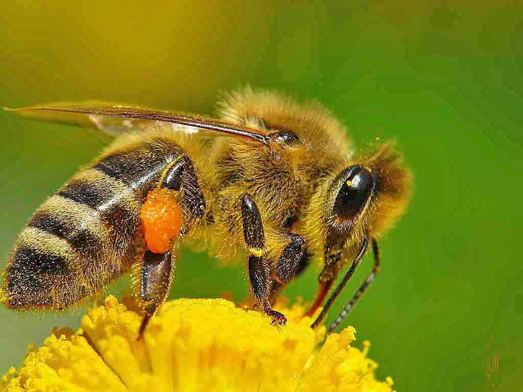 факты о пчелах